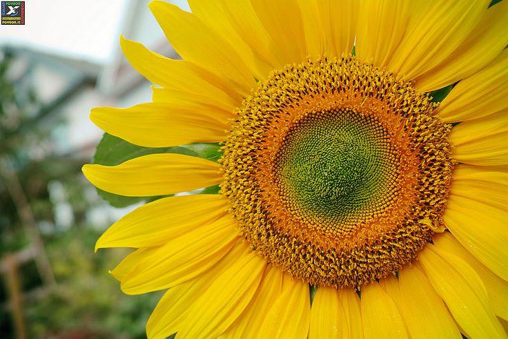 "#35 IFC Editor's Choice 08-11-2014""Summer sunflower on Union Street"" (Ph. Wolfgang) https://www.flickr.com/photos/ericflexyourhead/ Sigma Dp2 Quattro http://forum.foveon.it"