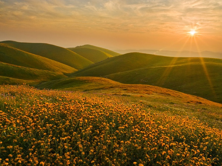 Cluster of Fiddleneck Wildflowers, Bakersfield, California