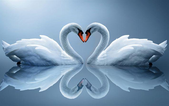Hämta bilder Vita svanar, vackra fåglar, vita fåglar, par svanar