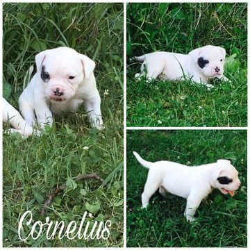 Litter of 3 American Bulldog puppies for sale in PLEASANT VIEW, TN. ADN-34132 on PuppyFinder.com Gender: Male. Age: 4 Weeks Old