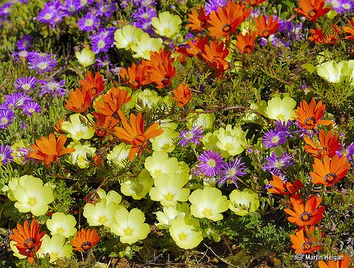 The wild flowers of Namaqualand by Martin_Heigan. Local names: Orange=Namakwalandse daisies, Yellow=Pietsnotjies, Purple=Perstapyt