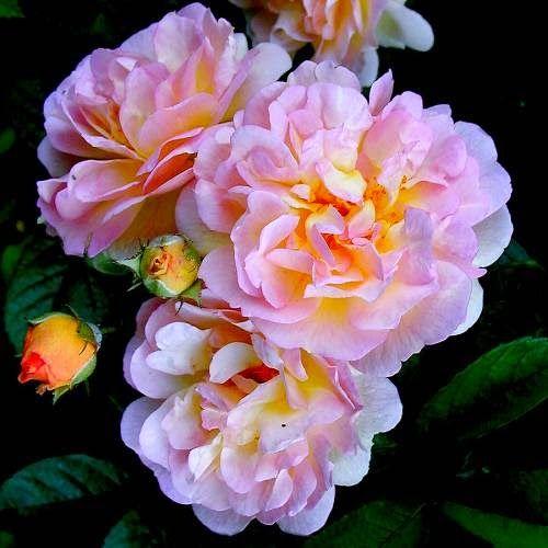 Criador: Pemberton, 1925.   Floração: Contínua.  Diâmetro da flor: 5 cm.  Perfume: Suave.  Dimensão adulta: Pode atingir 3 metros de a...