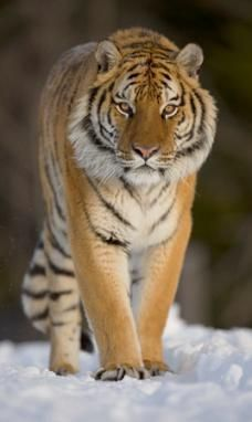 This breed is found in the coldest areas of Southeastern Russia and in few areas of China and Korea. It is very sad to say but this is an endangered species. We have just 350-400 tigers in the wild areas and approximately 490 tigers in the zoos.