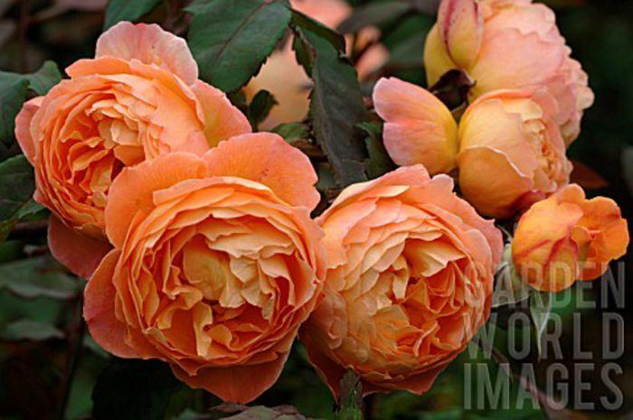 trandafir Lady Emma Hamilton-120 cm - TRANDAFIRI ENGLEZESTI