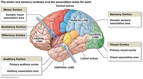Functional Areas Diagram I.Motor Areas(posterior part of the frontal lobes) Primary motor cortex- precentral gyrus in the frontal lobe La...
