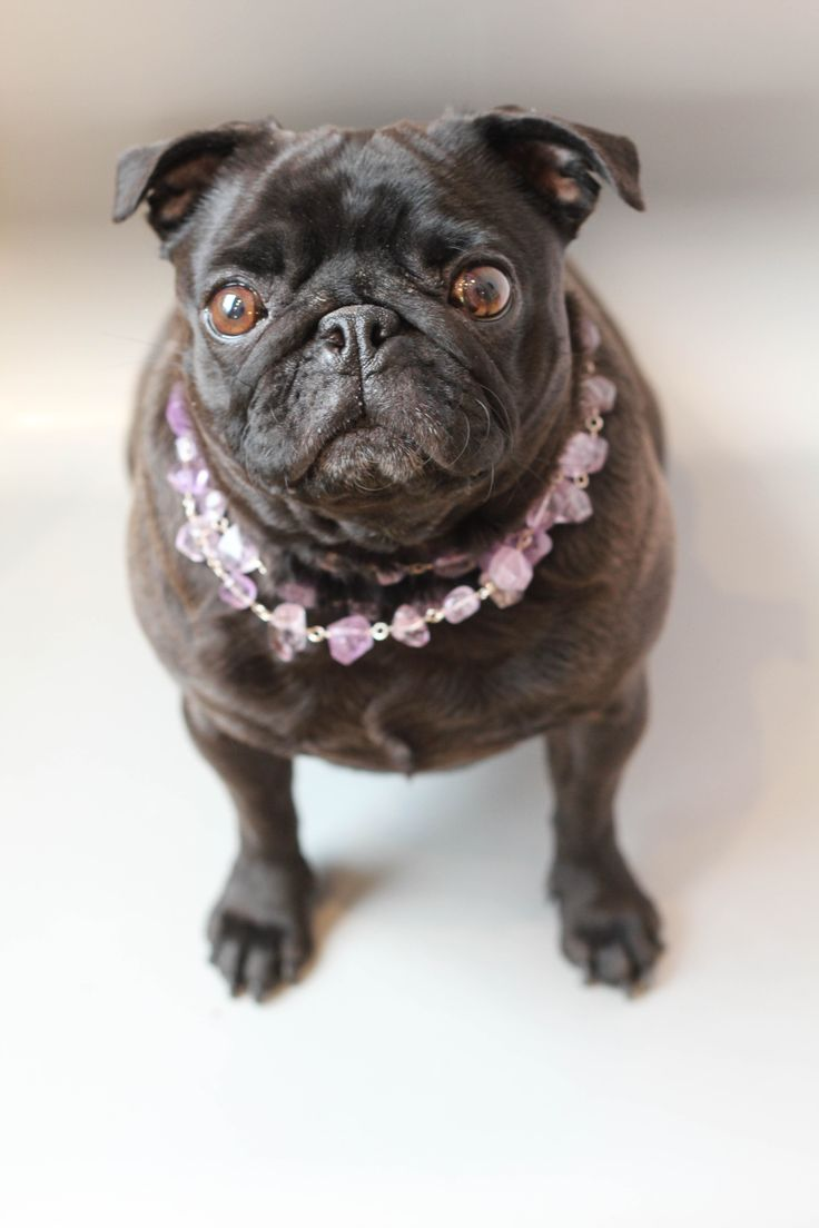 Looking pugsquisite in ropes of amethyst
