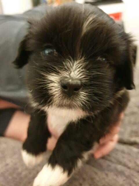 Lhasa Apso Puppies 3 Girls 2 Boys In Scarborough North Yorkshire
