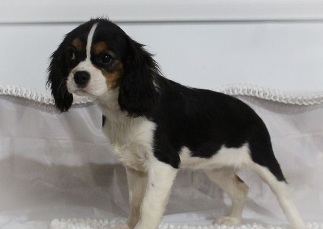 Courtney A Female Akc Cavalier King Charles Spaniel Puppy For Sale In Spencervi Cavalier King Charles Dog Cavalier King Charles Cavalier King Charles Spaniel