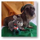 ... miniature schnoxie miniature schnoxies dachshund miniature schnauzer