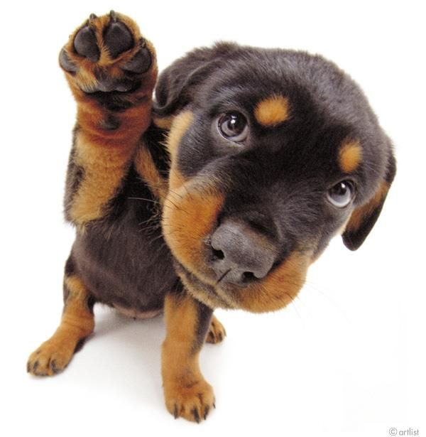 Artlist Collection THE DOG (Rottweiler) — Did you know ...