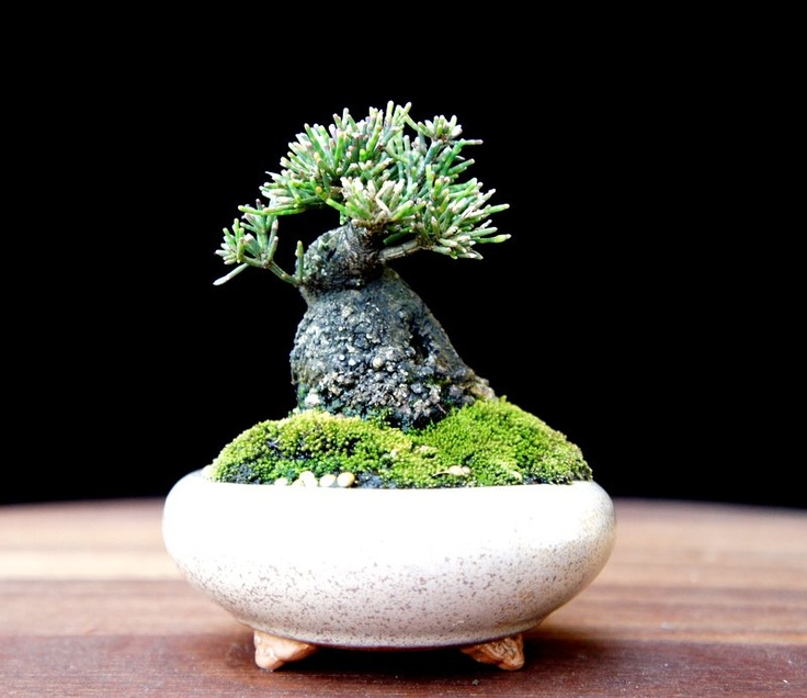 17 best images about my favorite mini bonsai on pinterest miniature minis and beans. Black Bedroom Furniture Sets. Home Design Ideas