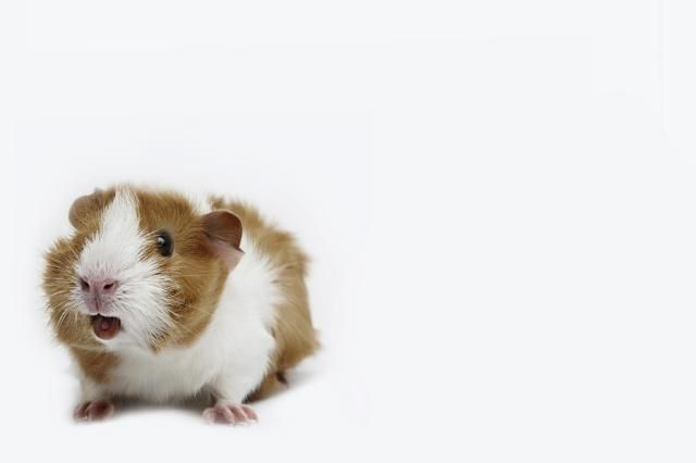 An introduction to guinea pig behavior, including common vocalizations and other things guinea pigs do to communicate, to help with understanding guinea pig behavior.