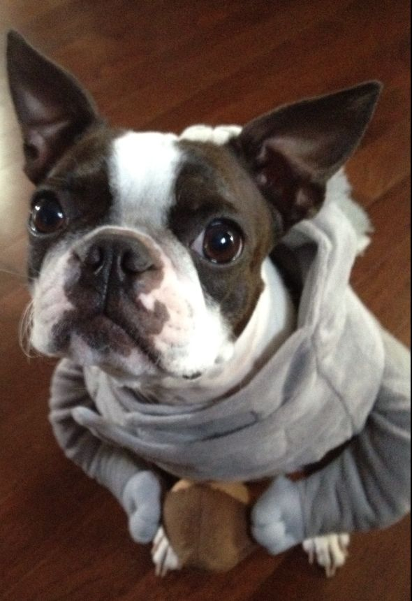 Squirrel Costume of Dyna the Boston Terrier from Manchester, USA