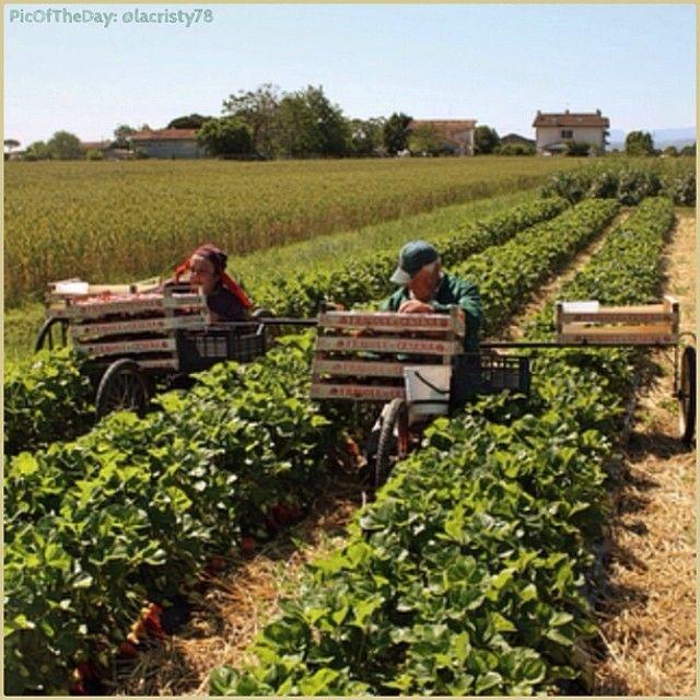 La #PicOfTheDay #turismoer di oggi ci porta a raccogliere le #fragole nei campi di #Romagna. Complimenti e grazie a @lacristy78 / Today's #PicOfTheDay #turismoer brings us to pick #strawberries in #Romagna's fields. Congrats and thanks to @lacristy78