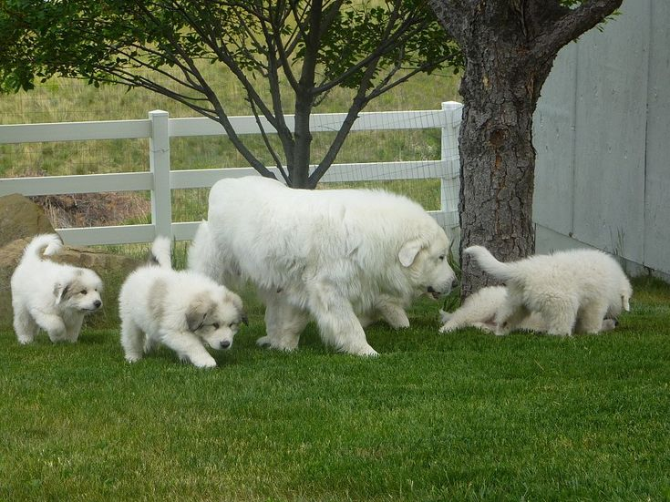 Great Pyrenees - bear dog he's coming for you. bear dog he'll run you through...thats as far as ive gotten in our bear dog song. everything worth while in life needs a song to accompany it. but thats just me. i have a sausage patty song too. hahaha