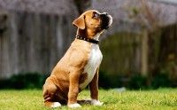 Chin whiskers, boxer puppy