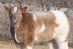 I want to pet one! Internet Obsesses Over New Fluffy Cattle Trend