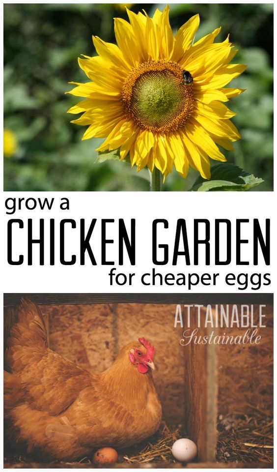 Raising chickens on the cheap. Growing feed for your hens to cut homestead costs? Plant a chicken garden!