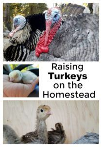 If you've considered raising turkeys on the homestead make sure you know what it takes to be successful at it! afarmgirlinthemaking.com