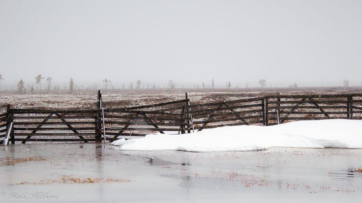Keväinen lumisade Kittilässä. photo Paula Mikkonen