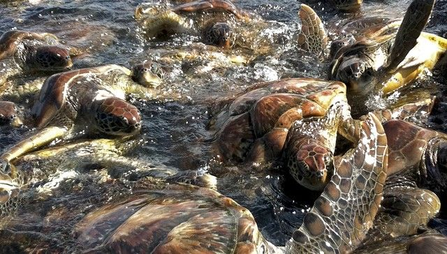 Resort Killed Over 1,000 Endangered Turtles. And Now They're Covering It Up.