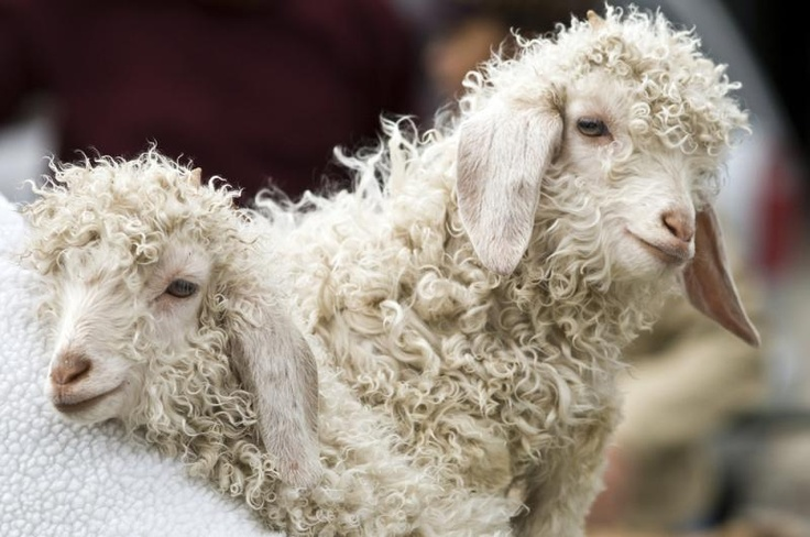 Mohair comes from Angora Goats