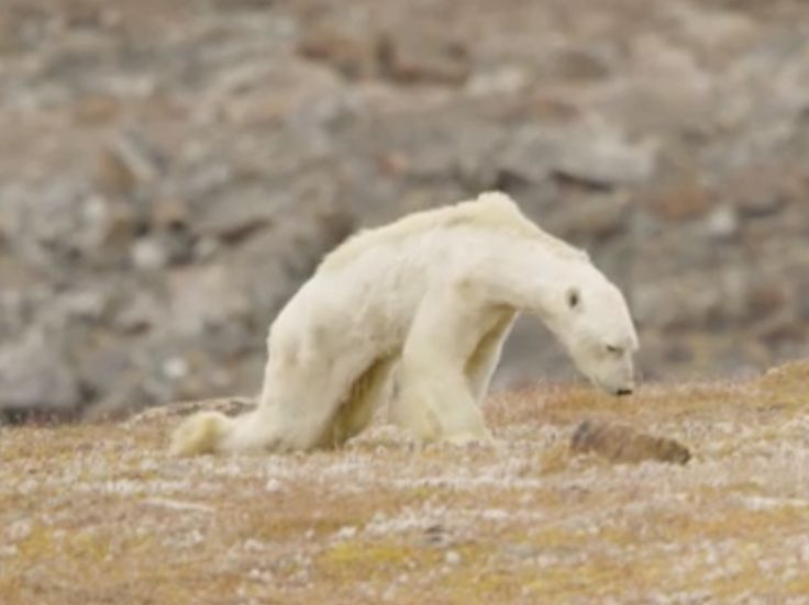 A group of filmmakers have shared images of the gut-wrenching moment they stumbled acrossa starving polar bear clinging to life in the wild as it scavenged for food. Photographer Paul Nicklen and filmmakers from Sea Legacy spotted the bear on the Canadian Baffin Islands this summer. The group captured disturbing images of the emaciated bear, with its white hair hanging off its bony frame, dragging its back legs behind it.