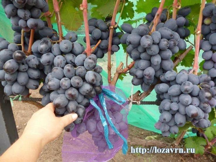 Руслан - стр. 1 - сорта винограда на Р - ВИНОГРАДНАЯ ЛОЗА