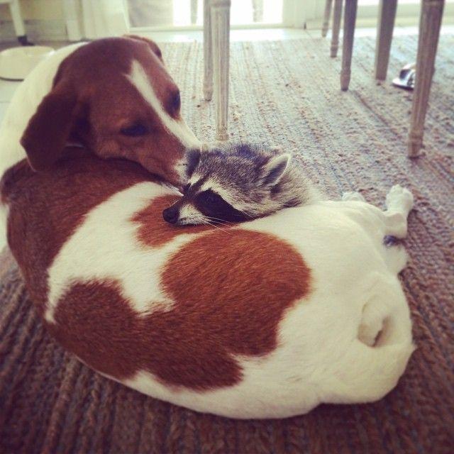L'année dernière, Rosie Kemp a receuilli un bébé raton laveur abandonné par sa maman. Elle décide, avec sa petite fille...
