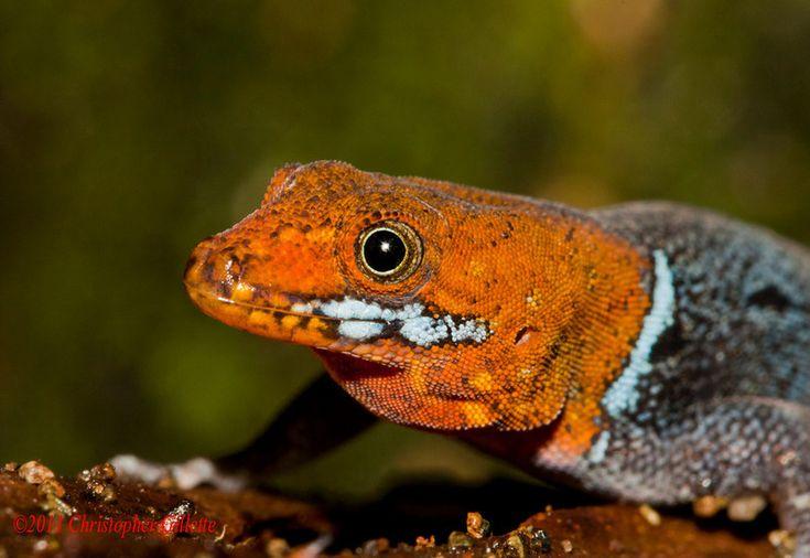 Yellow-headed gecko (Gonatodes albigularis)