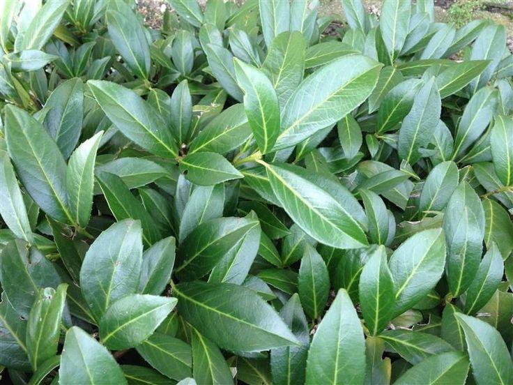 150 stuck prunus herbergii heckenpflanze immergr n und winterhart hecke in garten terrasse. Black Bedroom Furniture Sets. Home Design Ideas