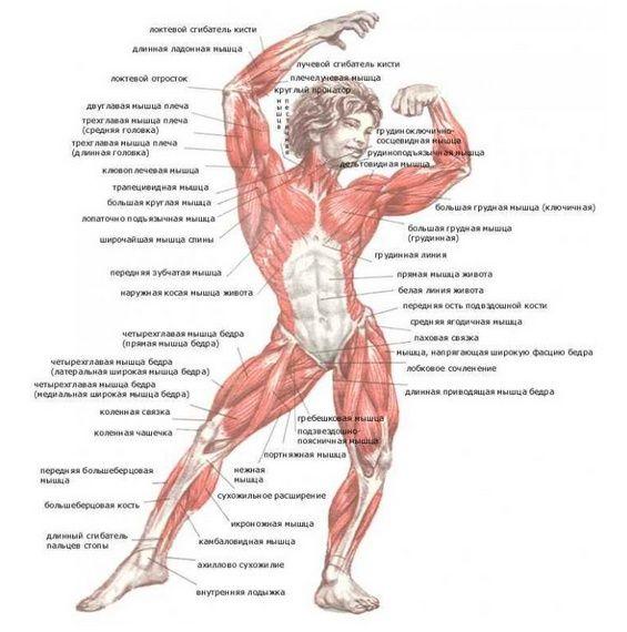 мышцы руки анатомия: 22 тыс изображений найдено в Яндекс.Картинках