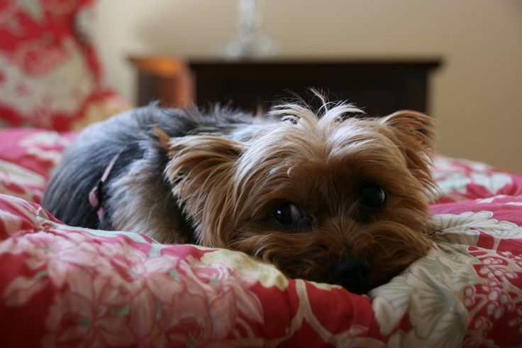 5 Problems Only Yorkshire Terrier Owners Will Understand