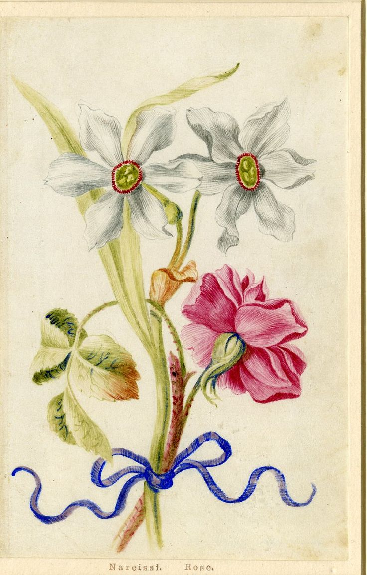 Drawing from an album, white Narcissi and pink Rose, tied with blue ribbon. Watercolour over metalpoint, shaded with grey wash, on vellum. From Alexander Marshal's Florilegium.