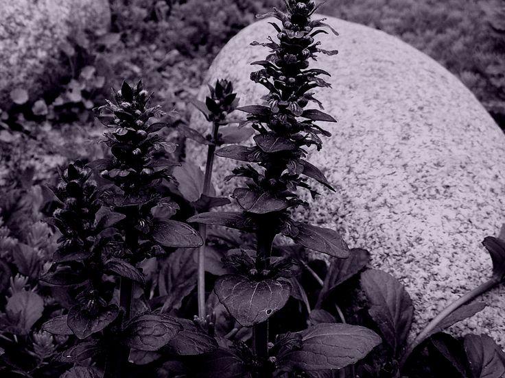 Stunning Bugle weed Aj ga r ptans thyme Th mus serp llum garden sage S lvia officin lis and eucalyptus Eucal ptus leaves produce expectorative and