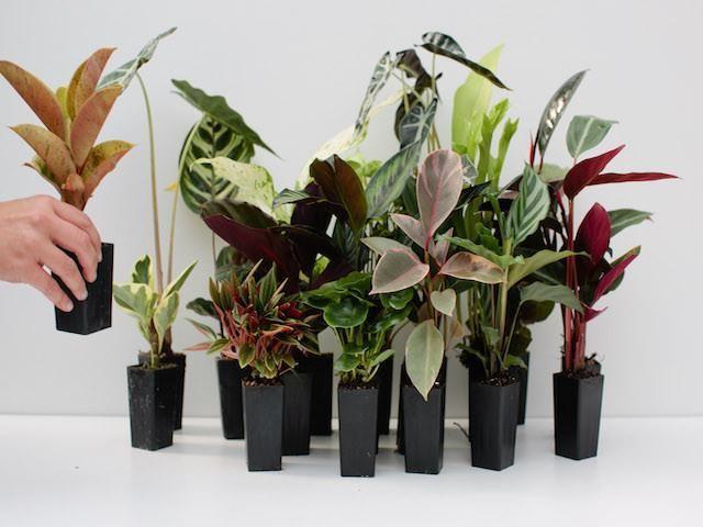 Buy Indoor plants online mixed varieties | Free Post