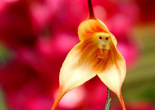 monkey%2Borchid%2B1%5B1%5D.jpg (512×365)