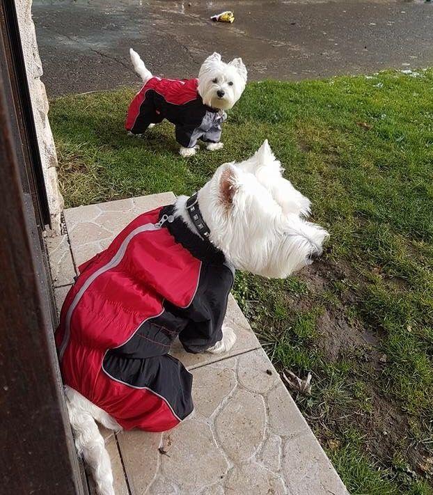 Dragii nostri prieteni, Lea & Tuffy, sunt pregatiti pentru joaca, imbracati in Salopete de Ploaie de la King Maru --> https://kingmaru.ro/  #hainecaini #accesoriicaini #imbracamintecaini #caine #caini #catel #catei #dog #dogs #kingmaru