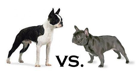 Boston vs Frenchie | A...