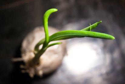 Cómo sembrar cebollas en casa