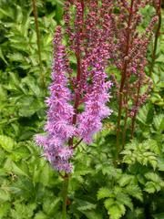 Astilbe chinensis 'Purpurkerze' PURPLE CANDLE  - Plant Finder