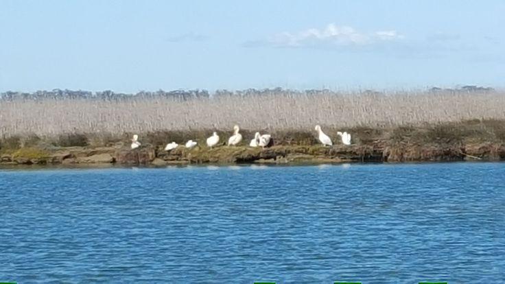 Pelicans, Bokkomlaan, Velddrif