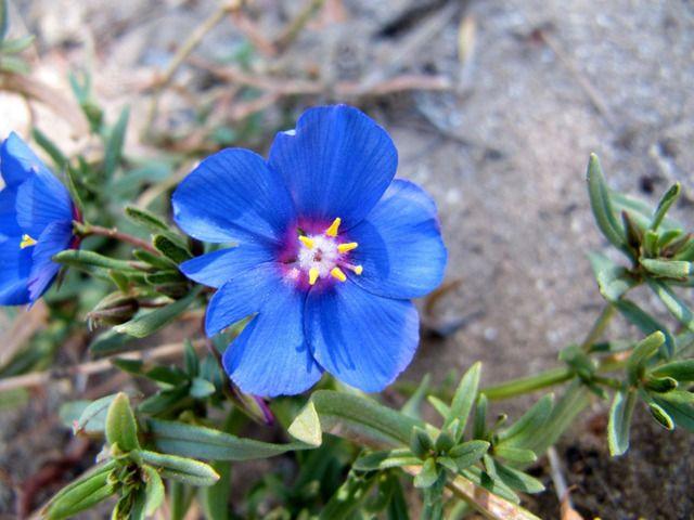 Conseil pour cultiver et entretenir Anagallis monelli, le mouron bleu de Monel, une plante aux fleurs bleu vif qui supporte la sécheresse.