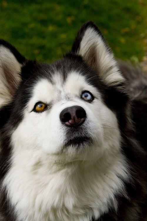 ¡La gran belleza de Siberia! Nos encanta el Husky. Aquí podéis conocerlo mejor: http://ow.ly/nLOqH  Y para protegerlo, no olvidéis utilizar el collar Seresto: http://ow.ly/nLOxx  :)  #dogs #perros #razas #mascotas #pets #husky #breeds