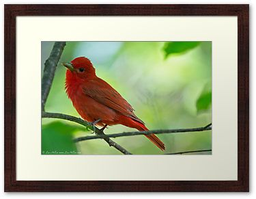 Juvenile Summer Tanager by Lee Hiller Photography