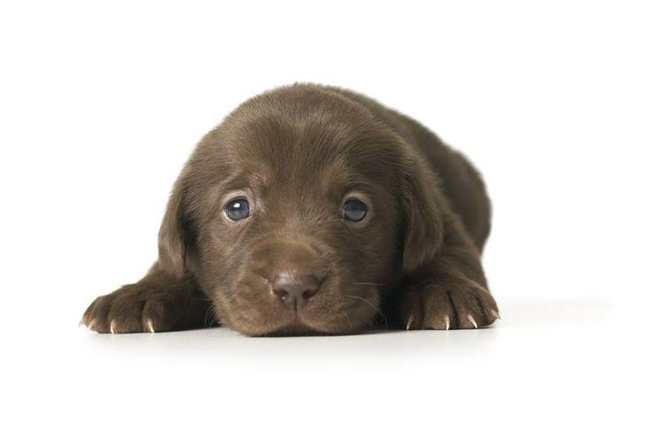 Cutest Lab Puppy Ever Stinkin Cute Doggies Pinterest