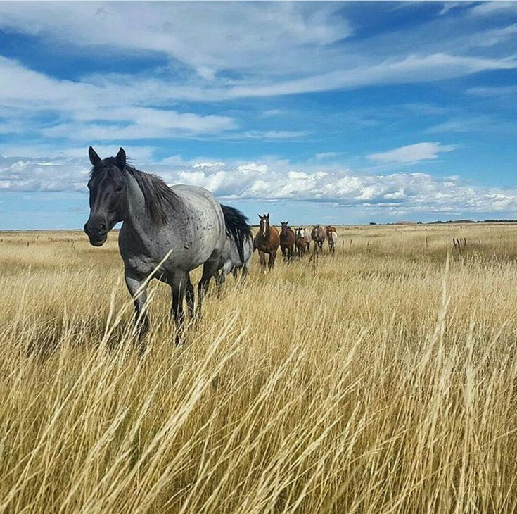 Wild Mustangs Traveling the Golden Prairie.                                                                                                                                                                                 More