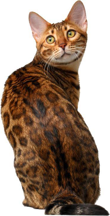 Gato bengalí, gatito bengalí, gato bengalí precio, gato bengal, venta gato bengalí, bengal