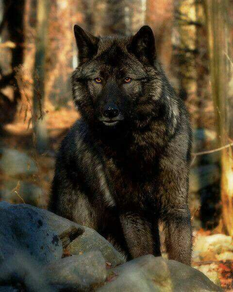 Beautiful black Wolf