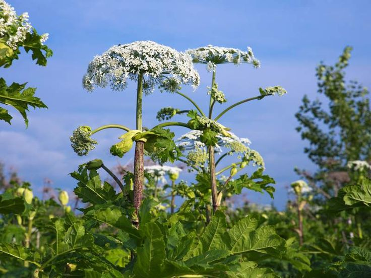 Hogweed, also known as cow parsnip